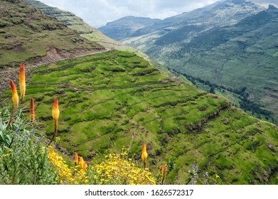 Kniphofia also called Tritoma or Red Hot poker (Kniphofia foliosa), Simien Mountains National Park, Unesco World Heritage Site, Amhara region, Ethiopia