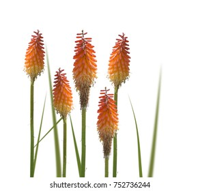 Kniphofia or Red Hot Poker flowers isolated on white background