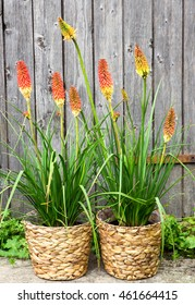 Kniphofia or Red Hot Poker Pants in Baskets, as special garden decoration.