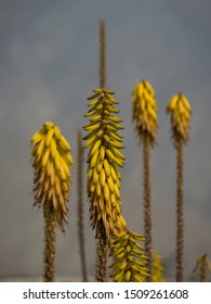 Kniphofia, torch lily in the desert