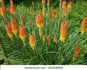 Kniphofia uvaria,  Asphodelaceae family.  Berggarten, Hanover - Germany