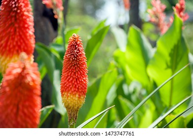 Kniphofia uvaria or Red Hot Poker. Kniphofia uvaria is also known as Tritoma, Torch Lily, or Red Hot Poker. The leaves are reminiscent of a lily, and the flower