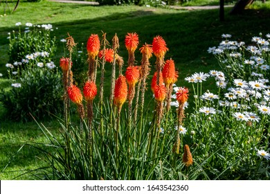 Kniphofia uvaria is a species of flowering plant in the family Asphodelaceae