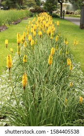 Kniphofia yellow red hot poker flowers in a garden bed in a botanic garde