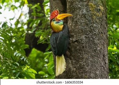 The knobbed hornbill (Rhyticeros cassidix), also known as Sulawesi wrinkled hornbill, is a colourful hornbill native to Indonesia.