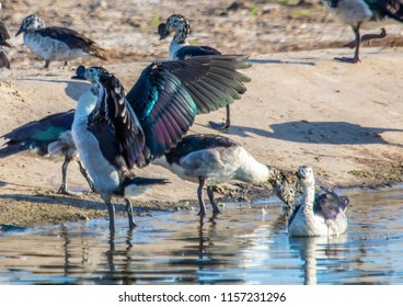 Knob-billed ducks at the Nxai Pan Nationalpark in Botswana