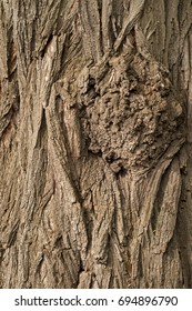 Knot in the bark of a tree. Acacia bark texture.