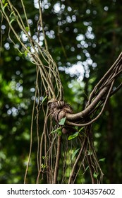 Knot on the tree from lianas