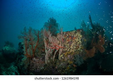 Knotted Gorgonian sea fan with school of glassfish