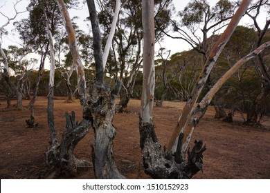 Knotted tree  trunks at Willow waters gorge South Australia.