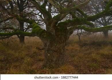 Knotty stocky Oak with tangled mossy branches in autumn