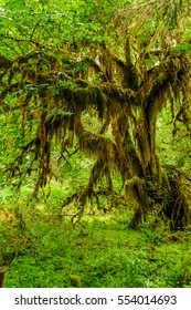 knotty tree covered with moss in the temperate Hoh Rain Forest.,Olympic National Park, Washington State, USA