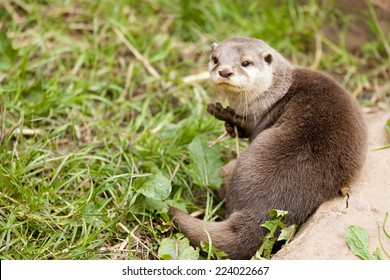 Known as Asian otters or Oriental small-clawed otter