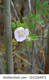 Known commonly as California Wild Rose, and botanically as Rosa Californica, this Southern California native plant emanates beauty as it grows in Ballona Freshwater Marsh of Los Angeles.