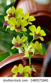 Cymbidium,commonly known asboat orchids, is agenusofevergreenflowering plantsin the orchidfamilyOrchidaceae