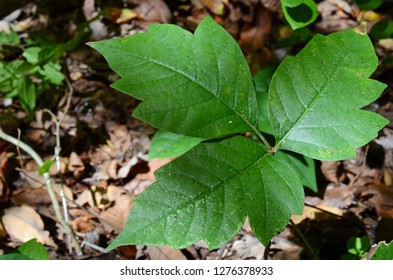 Known as Poison Ivy, Poison Oak, and Poison Sumac contains oil in the leaves and causes an allergic reaction resulting in a rash.