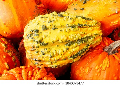 A knucklehead pumpkin in the center of a gourd background