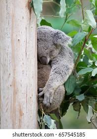 Koala, Australia's rare animals, lazy animals
