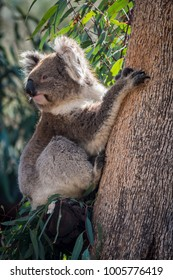 Koala baby climbing a eucalyptus tree.
