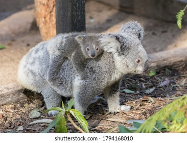 Koala baby on mother's back and looking at camera.