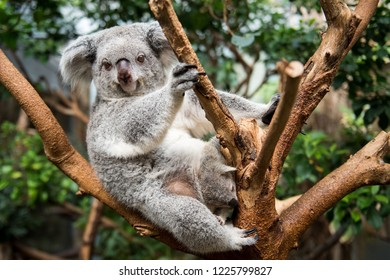 Koala with a baby sitting on a tree