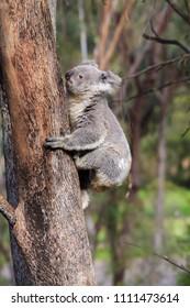 A koala bear climbing on a tree trunk