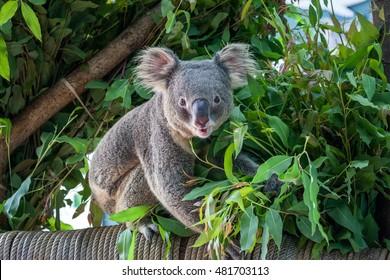 koala bear cute