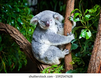 Koala Bear in Eucalyptus Tree. Iconic Australian marsupial. Grey furry mammal sat in a tree.