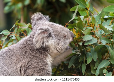 A koala bear feeding on gum leaves