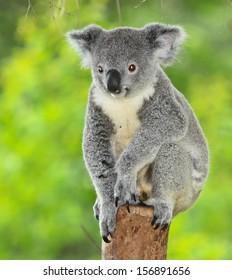 koala bear in forest zoo