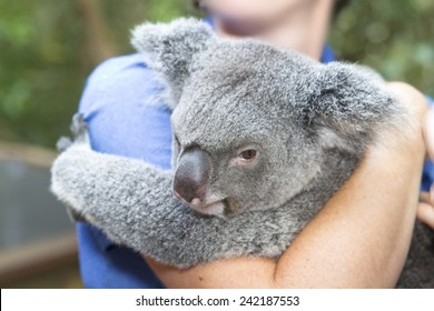 koala bear in hands of a lady pampering.