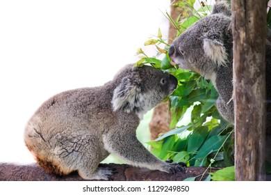 koala bear with her baby or joey in eucalyptus or gum tree