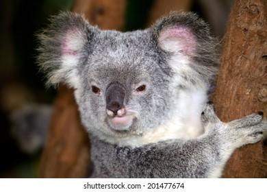 Koala bear in his tree