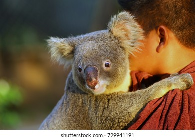 Koala bear hugging zoo keeper.
