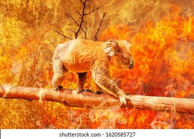 Koala bear on eucalyptus branch escape from australian bushfires in 2019 and 2020. Conceptual: save koala, global warming, natural disaster, climate change. Koala survival at risk.