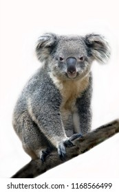 Koala bear on white background.