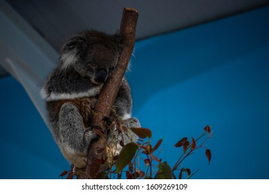 A koala bear at rest in a tree