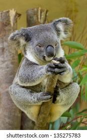 Koala bear sitting on a branch