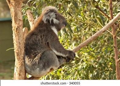 Koala bear sitting on a eucalyptus tree branch
