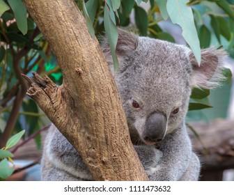A koala bear sitting in a tree
