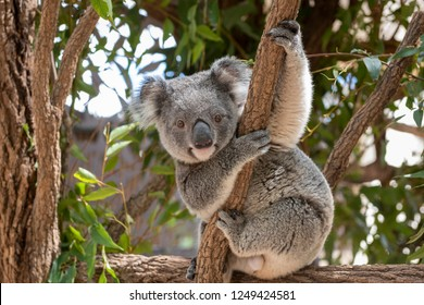 Koala Bear sitting in a tree looking face on