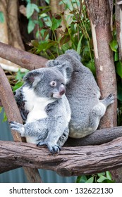 Koala Bears. These cute koalas live in a sanctuary in Kuranda, near Cairns