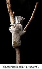 koala bears in the wild