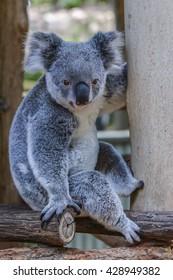 Koala in Brisbane, Queensland, Australia