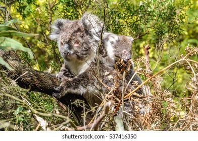 Koala carrying baby on the Great Ocean Road in Australia
