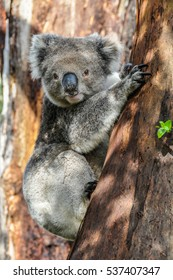 Koala climbing a tree on the Great Ocean Road in Australia