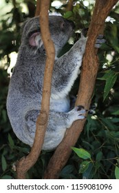 Koala Coala Bear Koala Australia  so Cute