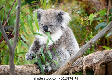 A koala eating and enjoying his eucalyptus