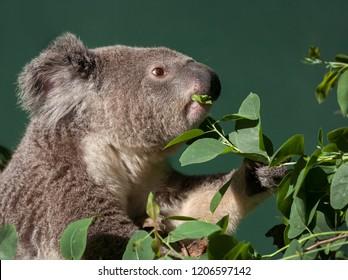 koala eating gum leaf