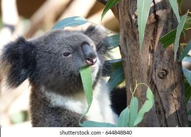 Koala eating a leaf from a eucalyptus tree